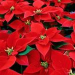 Curare la Stella di Natale pianta tropicale che vuole caldo e umidità