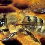 """Greenpeace in azione: """"i pesticidi della Sygenta uccidono le api"""""""