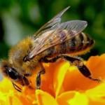 Ue ed api. Restrizioni all'uso di tre neonicotinoidi, ma molti impieghi restano leciti