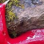 Lumaca gigante rosa: eccovi l'ultima scoperta del Monte Kaputar in Australia