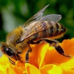 Banca del seme per creare le super api. Negli Usa vogliono lo sperma di quelle italiane