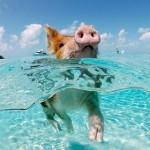 Alle Bahamas la spiaggia e l'isola dei maiali felici. Video