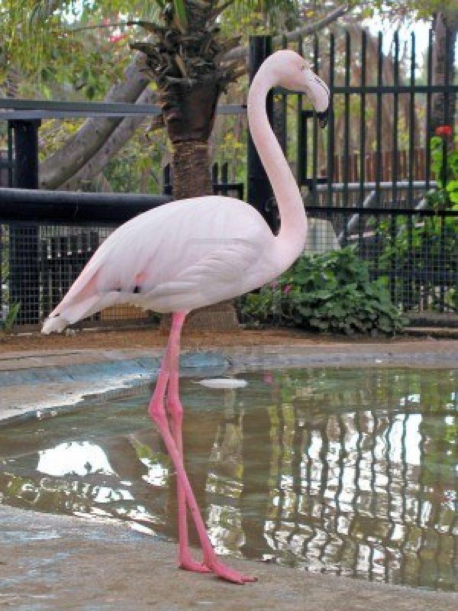7141691-vista-del-fenicottero-rosa-in-piedi-in-uno-zoo