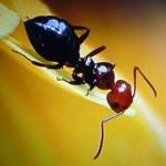 Dosi minime di pesticidi fanno perdere la bussola agli insetti. Il caso delle formiche
