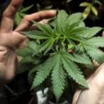Uruguay, primo Paese a legalizzare produzione e consumo di marijuana