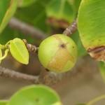 Mancinella: l'albero piu' pericoloso del mondo