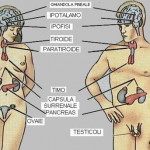 La salute di ghiandole surrenali e tiroide