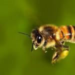 Non sono vietati nell'Ue. Due insetticidi causano la scomparsa delle api