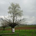 Un ciliegio nato su un gelso: il raro Bialbero di Casorzo