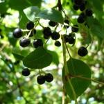 Maqui: dalla Patagonia il più potente antiossidante naturale