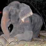 Raju: l'elefante che piange per la sua liberazione, dopo 50 anni di catene e abusi (VIDEO)