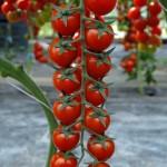 Pomodoro in scatola: il lato oscuro del frutto rosso