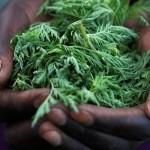 Artemisia: erba medicinale naturale
