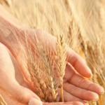 Storia del grano