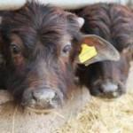 L'orrore dietro le mozzarelle di Bufala: ecco la drammatica realtà negli allevamenti!