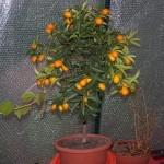 Agrumi che passione! Il Kumquat da appartamento