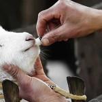 Antibiotici negli allevamenti: gli effetti negativi e le malattie che possono ritorcersi contro di noi