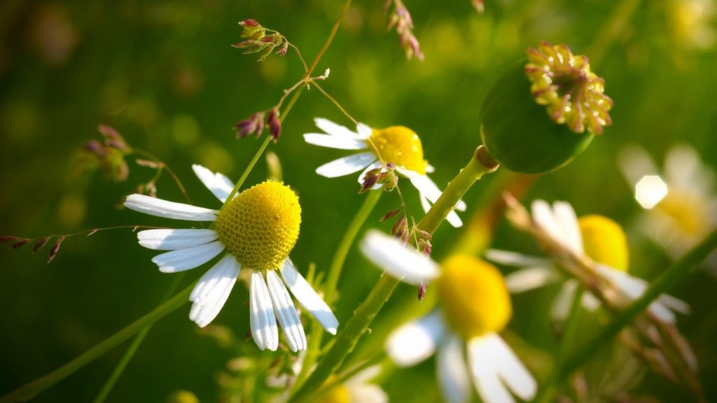 wallpapers-trust-love-and-respect-flower-camomile-poppy-nature-free-hd-1366x768-1024x575