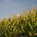 Un appunto per Cina e Russia: avete importato il mais spopolante?