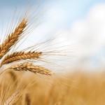 Perchè il grano non è biocompatibile con la specie umana